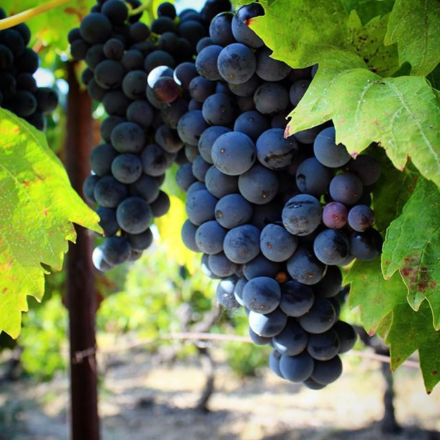 Wine harvest at Domaine de Palatz